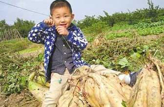 农民种出红薯近30斤重
